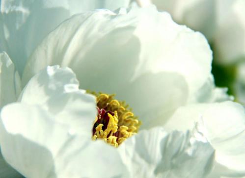 白牡丹花瓣能泡水喝吗