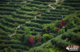 南岳云雾茶的特点